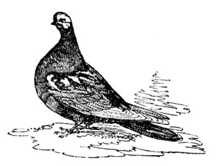 19th century engraving of a tumbler pigeon