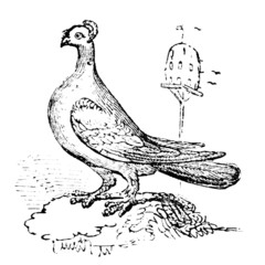 19th century engraving of a trumpeter pigeon