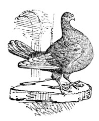 19th century engraving of a leghorn runt pigeon