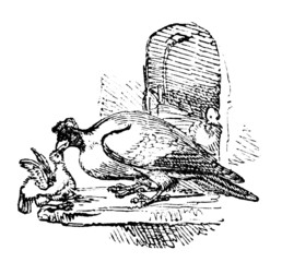 19th century engraving of a pigeon feeding her young