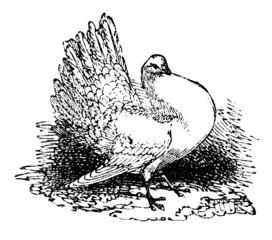 19th century engraving of a shaker pigeon