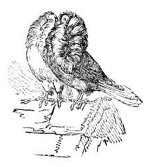19th century engraving of jacobine pigeons