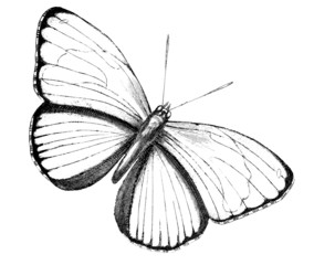 19th century engraving of a butterfly - Catagramma excelsior