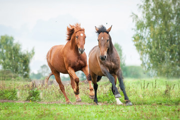 Fototapete - Two horses running on the pasture in summer