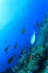 School fish underwater Unicornfish