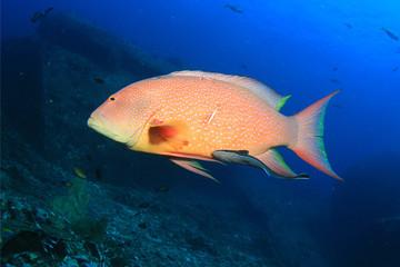 Lyretail Grouper fish and Remora (Suckerfish)