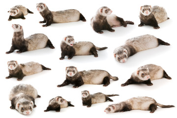 Set ferret  isolated Wall mural