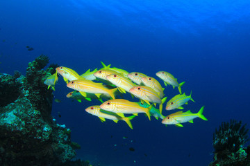 School of yellow Goatfish