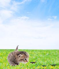 tabby kitten catching butterflies on a green meadow