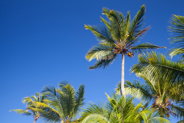 Coconut palm trees over clear blue sky