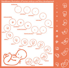 embryo development