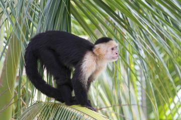 White-headed Capuchin Monkey Sitting in a Palm Tree