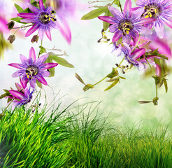 Wall Mural - Passionsblumen im Frühling: Passifloras Violacea :)