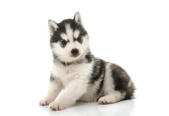 Cute siberian husky puppy on white background