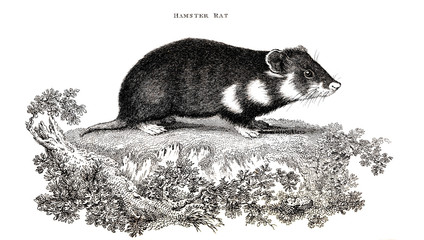 Victorian engraving of a hamster rat.