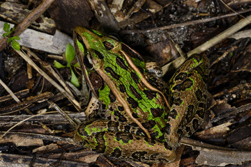 southern leopard frog