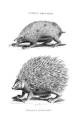 Victorian engraving of hedgehogs.