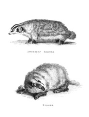 Victorian engraving of a badger.