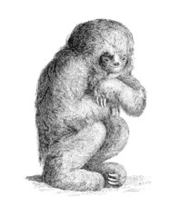 19th century engraving of a three-toed sloth