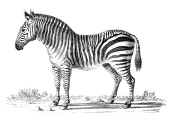 19th century engraving of a zebra