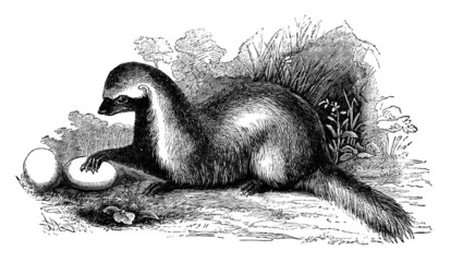 19th century engraving of a 'Grison' or weasel
