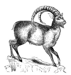 19th century engraving of an ibex