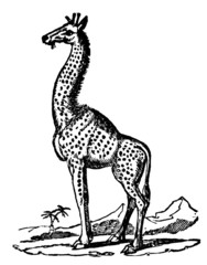 Victorian engraving of a giraffe.