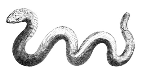 19th century engraving of a snake