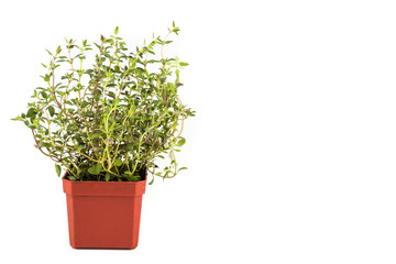 Potted Thyme plant with isolated background, flushed left