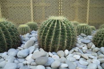 Dubai cactus