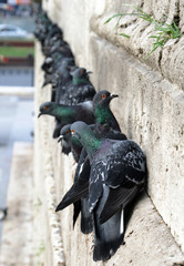 Feral pigeons on the wall of New Mosque, Istanbul, Turkey