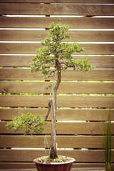 old bonsai tree in a  flower pot
