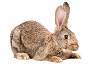 Portrait of a brown rabbit