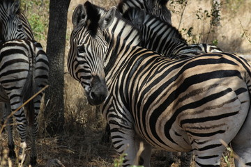 Zebra im Krüger Nationalpark Südafrika