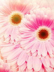 Two beautiful gerbera blossoms with pink colored petals