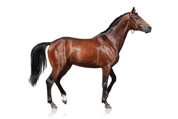 Beautiful bay horse isolated on white background