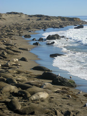 A Mile of Elephant Seals