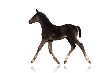 Black foal trotting on white background