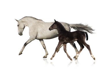 Grey horse run with black foal on white background
