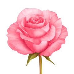 Vector rose pink flower illustration isolated on white