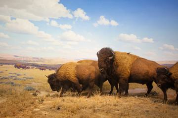 Deurstickers Bison herd of bison