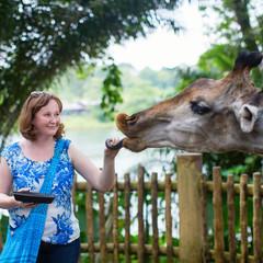 Zoo visitor is feeding a giraffe