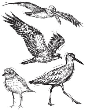 Ocean bird sketches