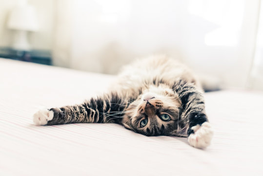 Grey cat lying on bed and stretching