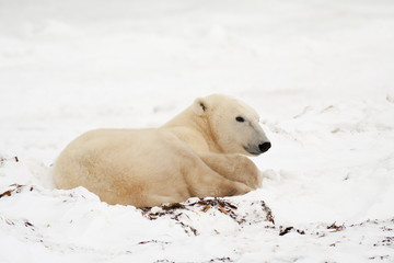 Polar Bear Lying Down in Snow
