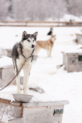 Sled Dogs Standing on Roof of Dog Houses in Winter