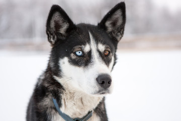 Close Up of Dog with Different Color Eyes