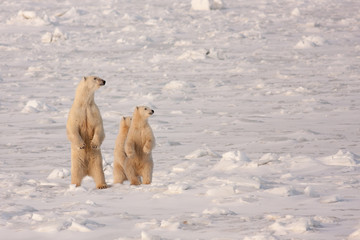 Polar Bear Mother and Cubs Standing on Hind Legs