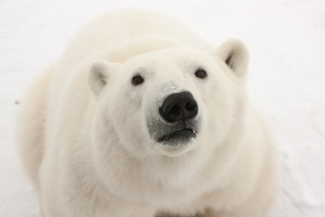Close Up of Adult Polar Bear Looking at Camera