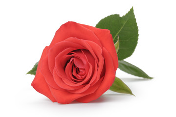 single red rose isolated on white